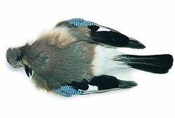 Blue Jay Full Skin