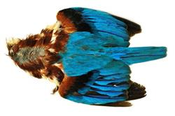 Veniard Kingfisher skin
