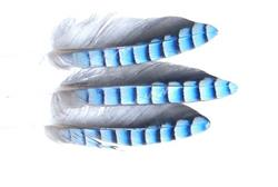 Blue Jay Hackles